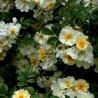 Photo: Rose 'Helenae Hybrida'