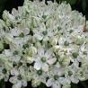 Photo: Allium Multibulbosum