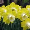 Photo: Narcissus 'Avalon'