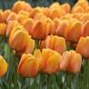 Photo: Tulip 'Blusing Apeldoorn'