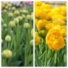 Photo: Tulip 'Yellow Pomponette'