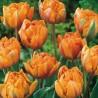Photo: Tulip 'Freeman'